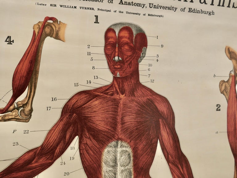 "20th Century Large University Anatomical Chart ""Muscles"" by Turner For Sale"
