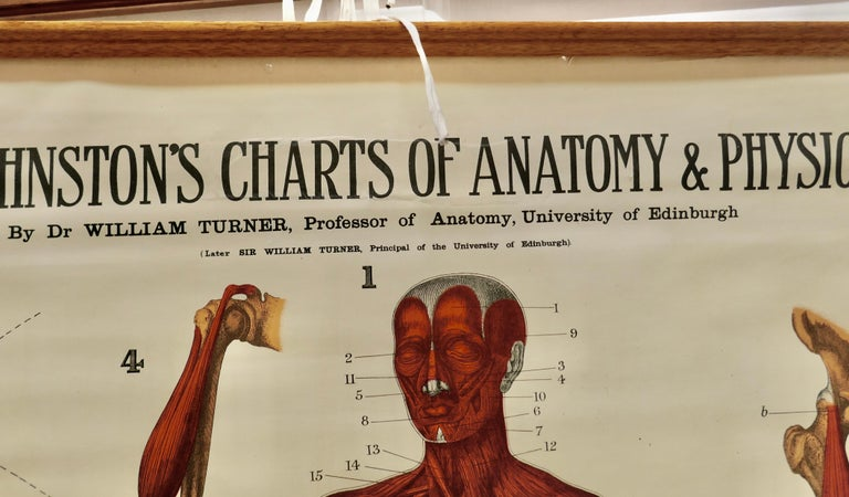 "Large University Anatomical Chart ""Muscles"" by Turner For Sale 1"