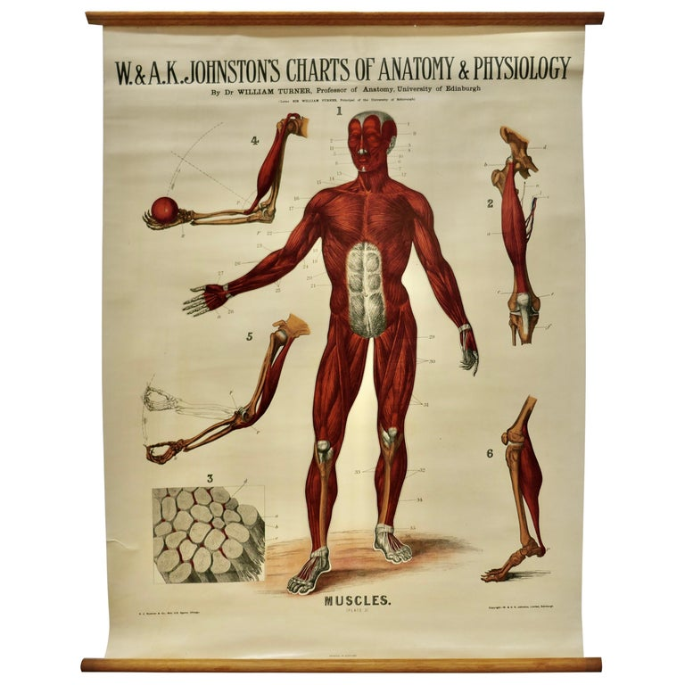 "Large University Anatomical Chart ""Muscles"" by Turner For Sale"