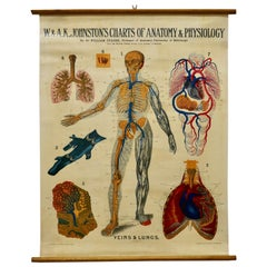"Large University Anatomical Chart ""Veins and Lungs"" by Turner"
