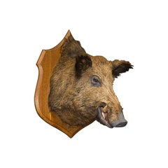 Large Wild Boar Trophy, French, Taxidermy Mount, Oak, Late 20th Century, 1988