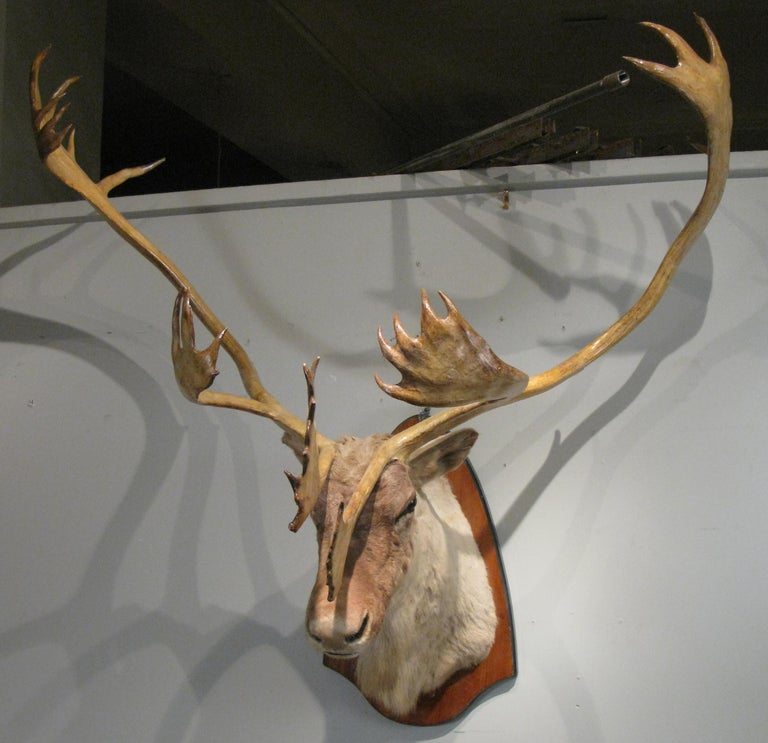 Large Wall-Mounted Taxidermy Caribou
