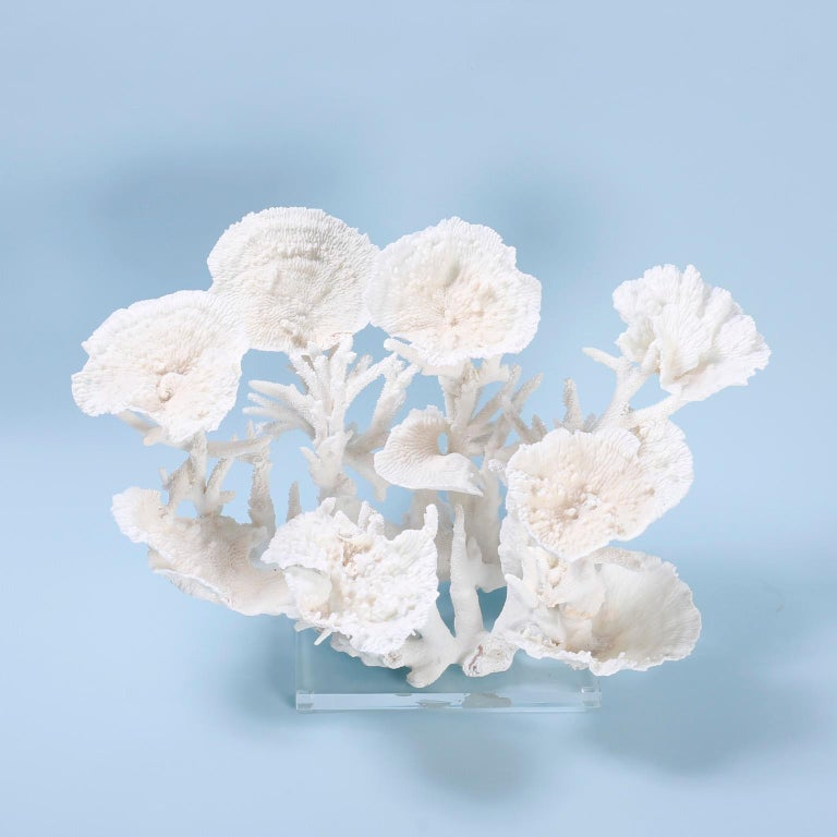Large coral sculpture or assemblage with a dramatic structure crafted with staghorn and merulina coral in an unexpected composition with striking bleached color and Mother Nature inspired textural elements. Presented on a Lucite base.  Coral being