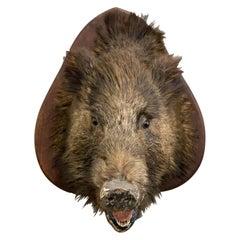 Large Wild Boar, Around 1920, Belgium, Taxidermy, Oak, Backboard, Vintage