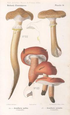 Champignons, French antique mushroom chromolithograph, 1910