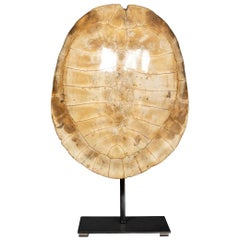 "Late 19th Century ""Blonde"" Turtle Shell"