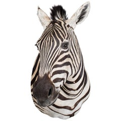 Late 20th Century Rare African Taxidermy Burchell Zebra Head