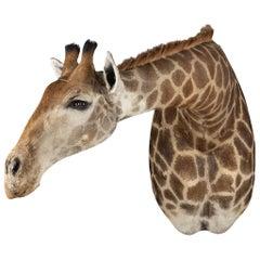 Late 20th Century Shoulder Mount Taxidermy Giraffe