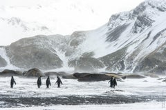 Leonard Sussman, King Penguins and Elephant Seals, documentary animal photograph