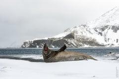 Leonard Sussman, Elephant Seal Barking, documentary animal photograph, 2018