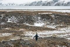 Leonard Sussman, King Penguin Surveying Its World, documentary digital print