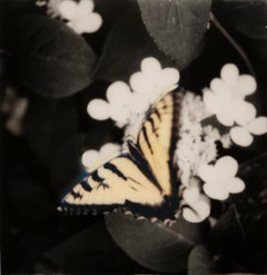 Butterfly: Still Life Photograph of a Yellow Monarch Butterfly & White Flowers
