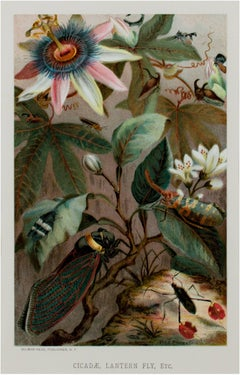 """Cicadae, Lantern Fly, Etc.,"" original color lithograph by Louis Prang"