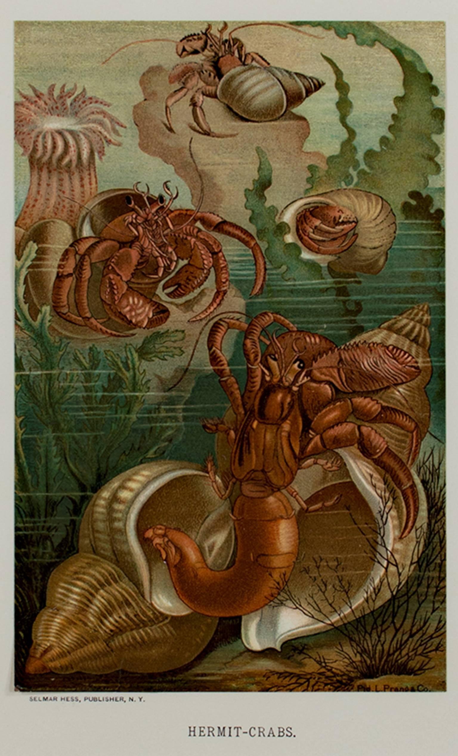 """Hermit-Crabs,"" Original Color Lithograph Seafloor Print by Louis Prang"