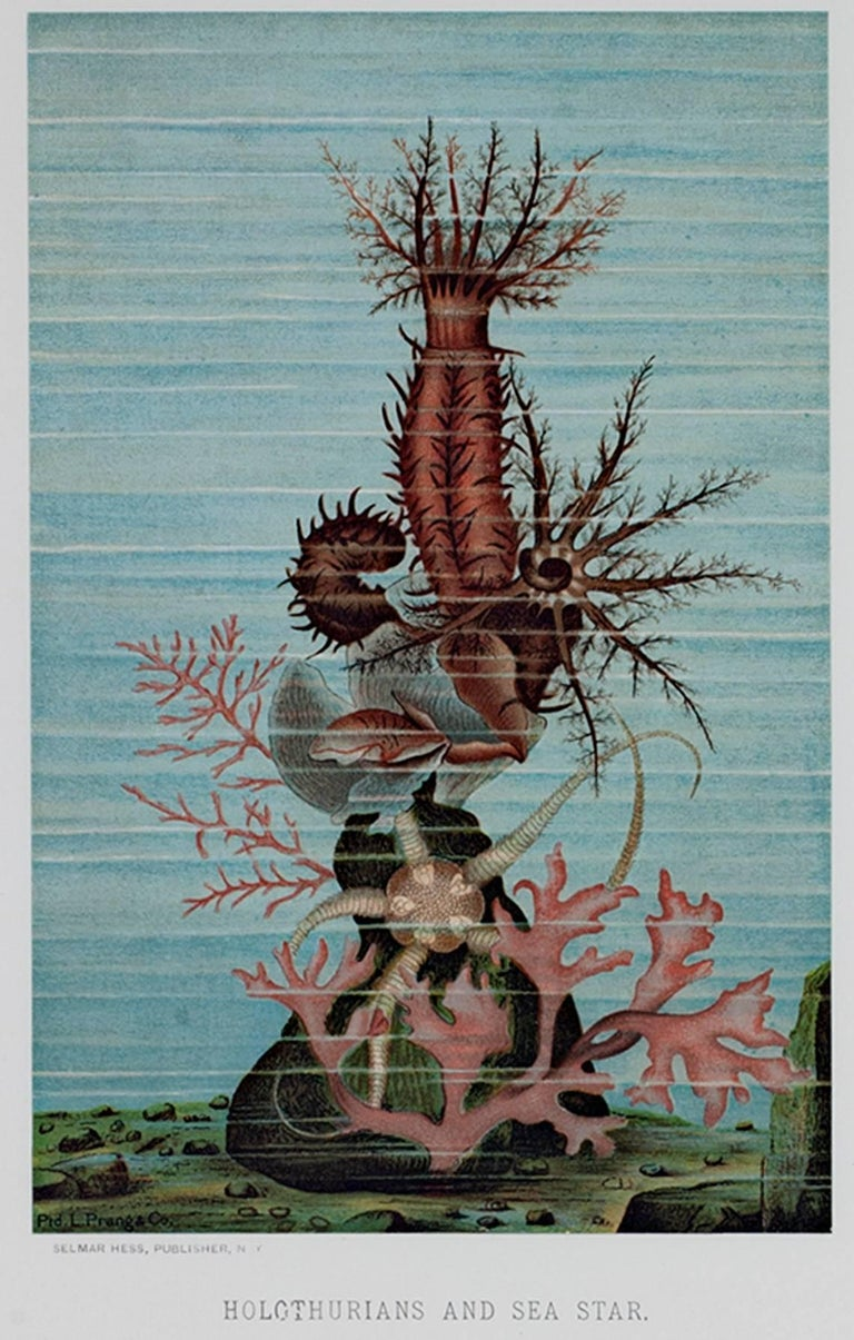 """""""Holothurians and Sea Star"""" is an original color lithograph by Louis Prang. It depicts some underwater sea creatures. The artist signed the piece in the stone lower left. It was published by Selmar Hess in New York.   7 3/4"""" x 5"""" art 19 3/8"""" x 16"""""""