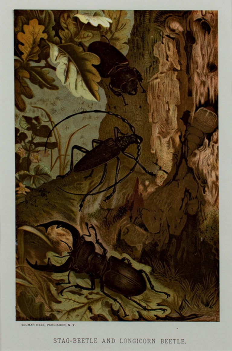 """""""Stag Beetle & Longicorn Beetle"""" is an original color lithograph by Louis Prang. It depicts two forest-dwelling beetles. The artist signed the piece in the stone lower left. It was published by Selmar Hess in New York.   8"""" x 5"""" art 19 3/8"""" x 16"""""""