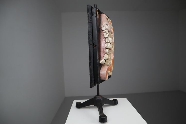 Metal Lower Jaw Anatomical model Wood and Plaster on metal base Czech Republic, 1930s For Sale