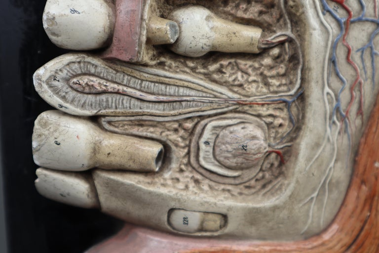 Lower Jaw Anatomical model Wood and Plaster on metal base Czech Republic, 1930s For Sale 1
