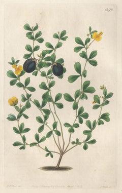 Gompholobium Marginatum, 19th century Australian native botanical engraving