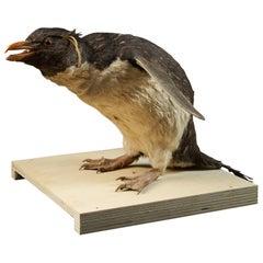 Macaroni Penguin 'Eudyptes chrysolophus', NL