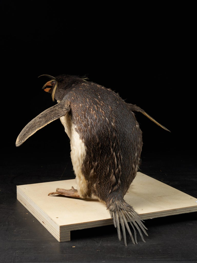 Late 20th Century Macaroni Penguin 'Eudyptes chrysolophus', NL For Sale