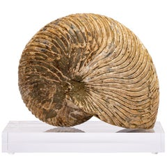 Madagascar Cymatoceras Ammonite on Acrylic Stand