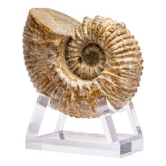 Madagascar Douvilleiceras Ammonite Fossil on Acrylic Base, Cretaceous Period