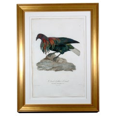 Madam Knipp Engraving of an Exotic Pigeon, Colombi-Galline a Camail