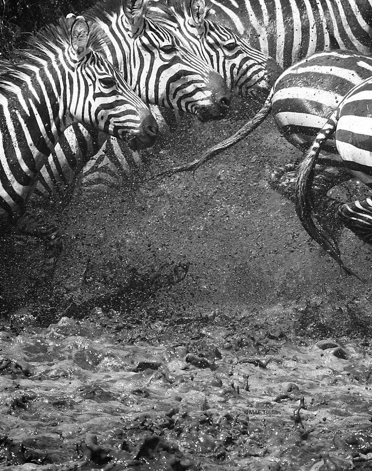 "MAE Curates Black and White Photograph - Zebras ""Splash"" - Animal wildlife pictures"