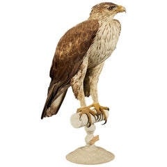 Magnificent Bonelli Female Eagle on Antique White Museum Stand
