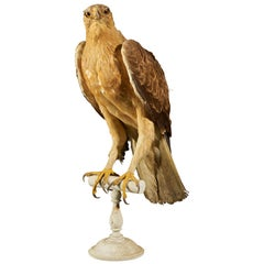 Magnificent Male Bonelli's Eagle on Antique White Museum Stand
