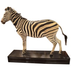 Male Full Mount Taxidermy Burchell's Plains Zebra on Ebonized Stand