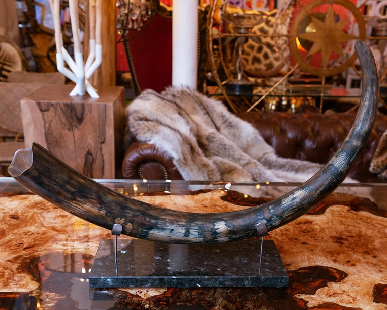 Tusk Mammoth medium dark meticulously restored.