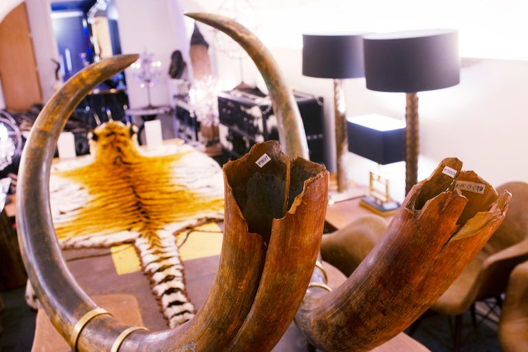 Mammoth Pair of Big Tusks For Sale 5
