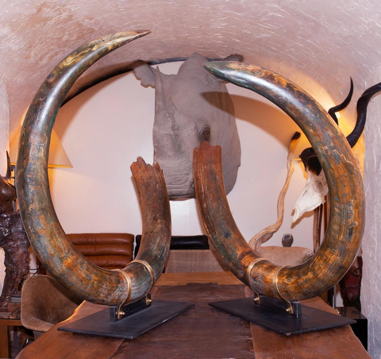Tusks mammoth pair of big, king size. Ultra rare Wooly mammoth (Mammuthus primigenius), in perfect condition. This huge pair is from Siberian Permafrost. Both tusks were recovered in the same place. The ivory of each tusk is of the