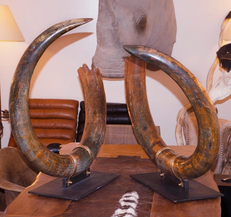 Russian Mammoth Pair of Big Tusks For Sale