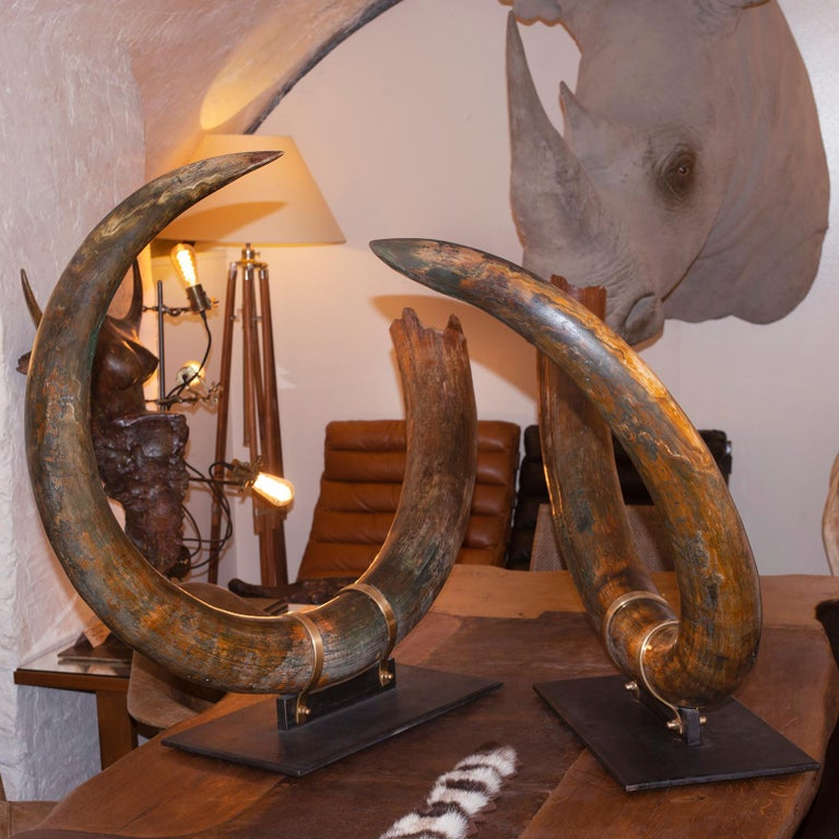 Hand-Crafted Mammoth Pair of Big Tusks For Sale