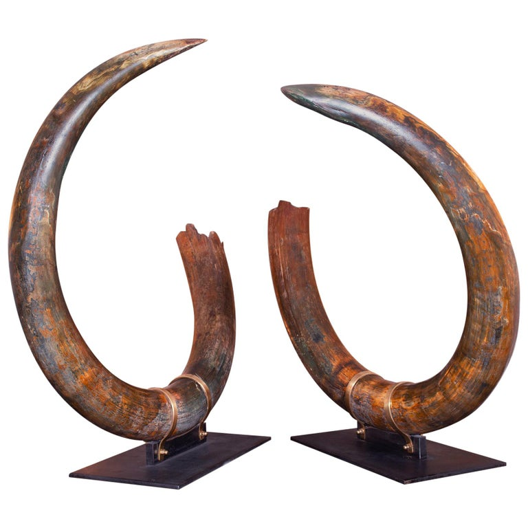 Mammoth Pair of Big Tusks For Sale