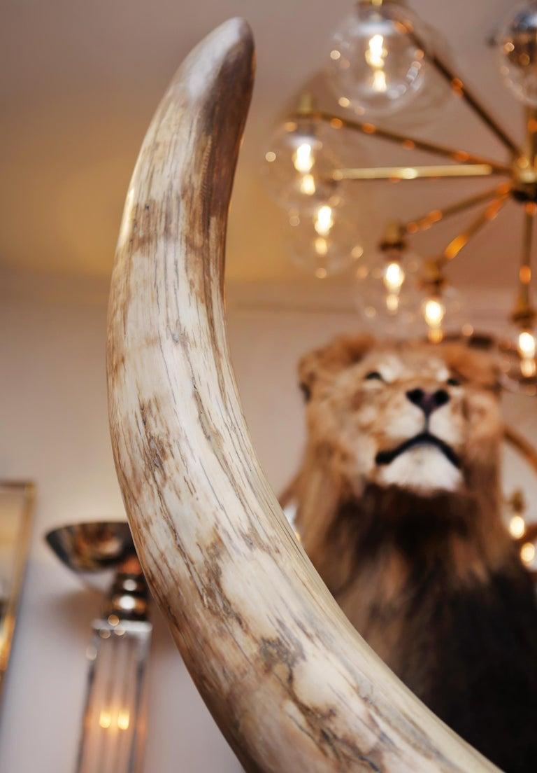 Mammoth Pure Ivory Big Tusk For Sale 4