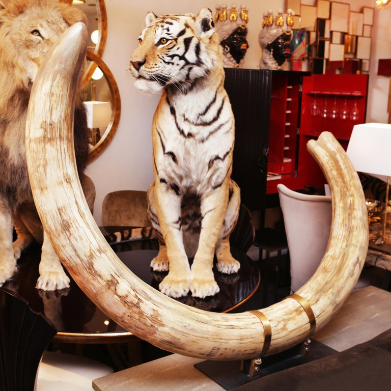 Tusk Mammoth pure ivory big. Ultra rare Wooly Mammoth