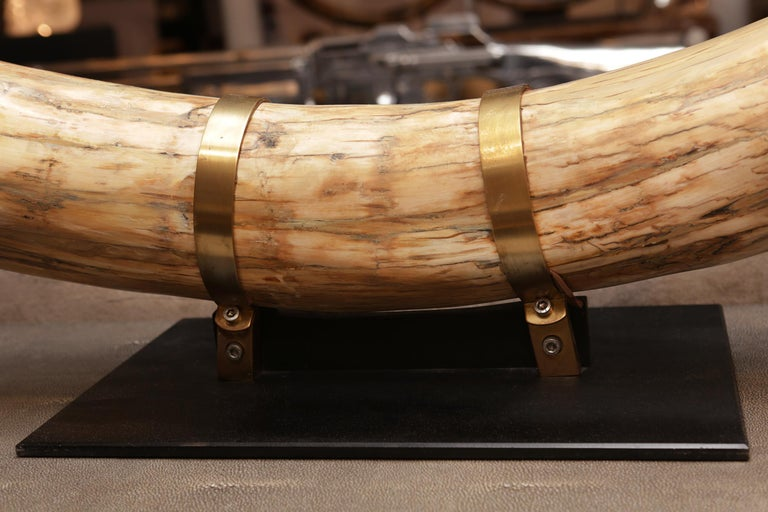 Mammoth Pure Ivory Big Tusk For Sale 1