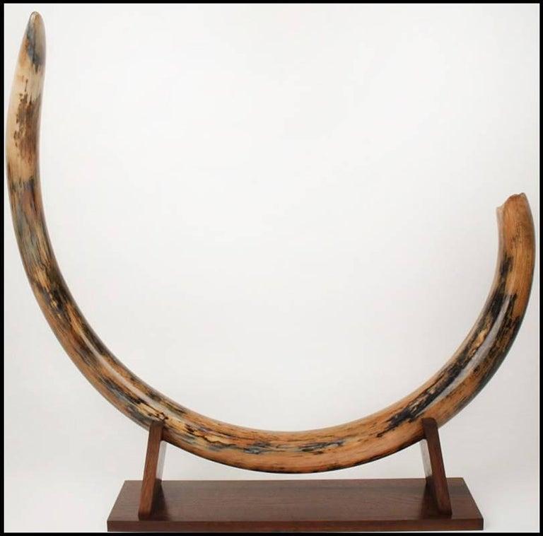 Mammoth Tusk Set of Two Medium