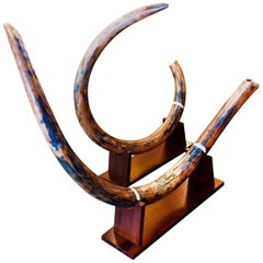 Mammoth Tusk Set of Two Medium