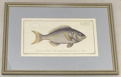 """Marcus Elieser Bloch """"Sparus Tetracanthus"""" Hand Colored Engraving Late 18th c."""