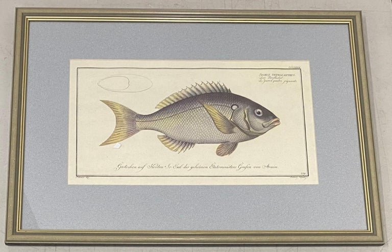 "Marcus Elieser Bloch ""Sparus Tetracanthus"" Hand Colored Engraving Late 18th c. - Print by Marcus Elieser Bloch"