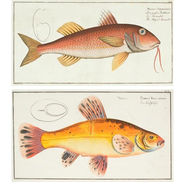 Marcus Elieser Bloch Animal Print - Pair of Fish Engravings