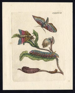 Black Willow with insects by Merian - Handcoloured engraving - 18th century