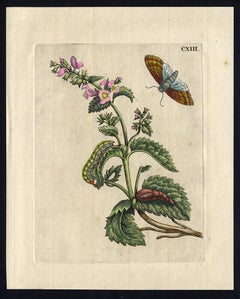 Catnip and Catswort - insects by Merian - Handcoloured engraving - 18th century