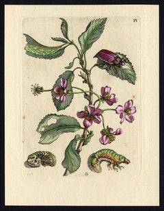 Cherry and Prunus with insects by Merian - Handcoloured engraving - 18th century
