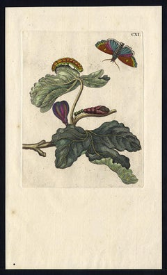 Fig tree with  insects by Merian - Handcoloured engraving - 18th century